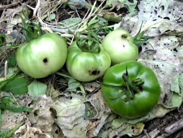 虫にやられたトマトたち